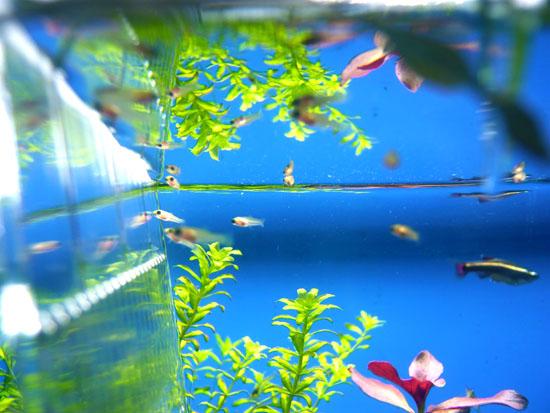 ミッキーマウスプラティの稚魚02