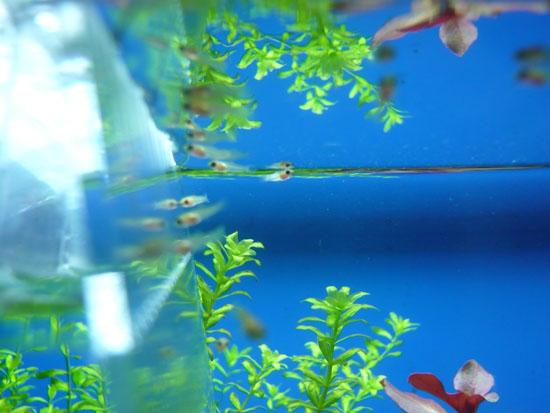 ミッキーマウスプラティの稚魚03